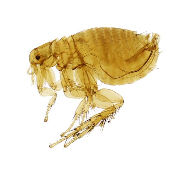 Pulci del ratto | ( Xenopylla cheopis)