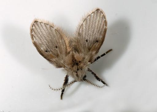 Clogmia albipunctata o mosca dei bagni