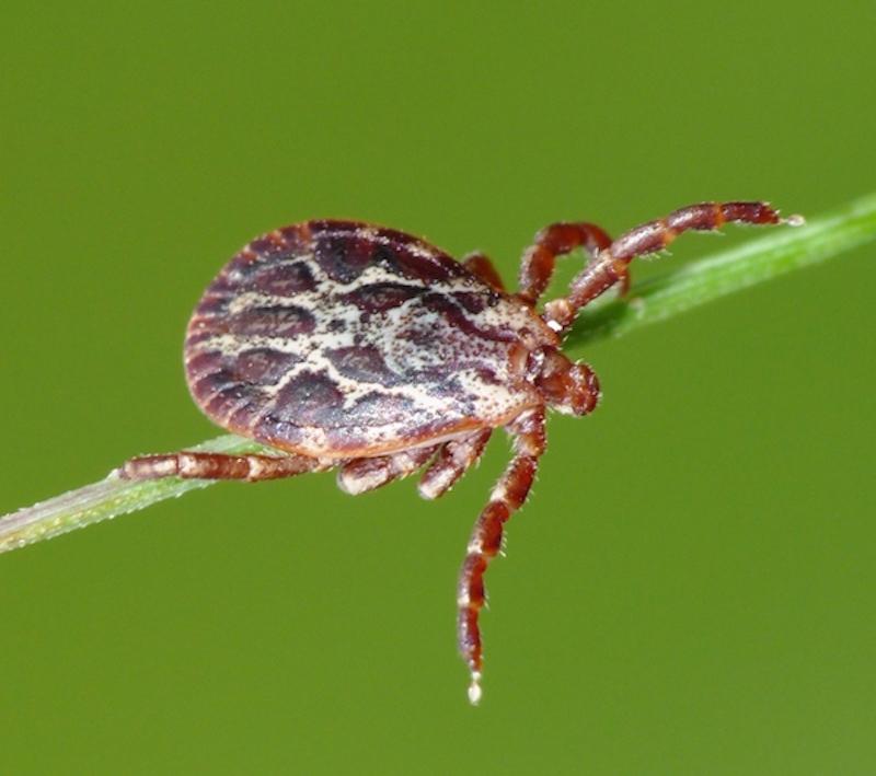 Dermacentor marginatus (▶ Zecca)