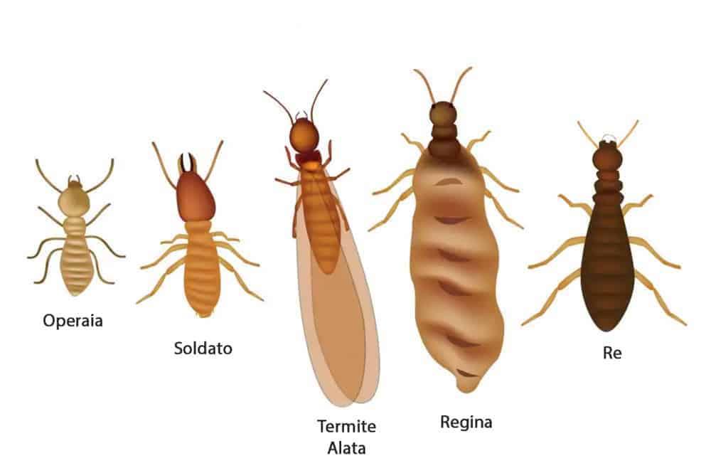 termiti-colonia